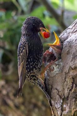 Momma Starling feeding her babies <3: Animals, Guido Jahn, Google, Mother, Feeding Time, Poultry, Baby, Beautiful Birds