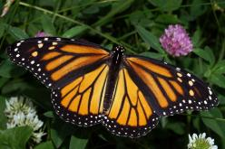 Monarch butterflies are recognizable by their orange and black wings.They are about 2 inches long, and from 3.5 to 5 ins. wingspread.Monarch butterflies are found throughout the United States. In Illinois they are commonly found from May through October.T