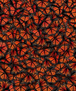 Monarch Butterflies by Elmira Amirova. Before metamorphosis the larva survive by eating the milkweed plant. This adaptation that monarch butterflies evolved protects them during their imago stage from predators such as birds.: Monarch Butterfly, Animals,
