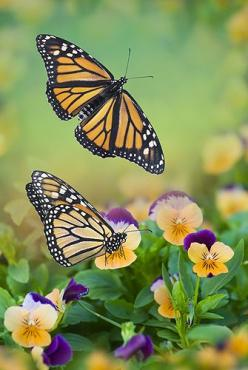 Monarch Butterflies | Gail Melville Shumway Photography: Monarch Butterfly, Beautiful Butterflies, Nature, Butterflies, Monarch Butterflies, Moth, Animal