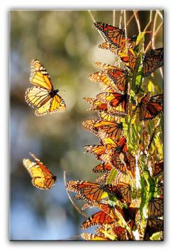Monarch Butterflies, Natural Bridges, Santa Cruz, California.  A Meeting of Kings by Joshua Cripps: Monarch Butterfly, Bridges State, Beautiful, Flutterby, Monarch Butterflies, Natural Bridges, Insects, Photo