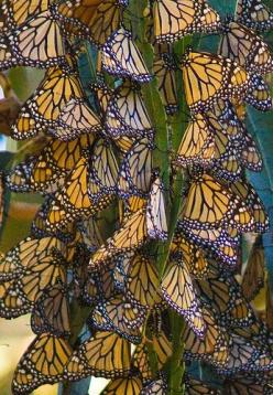 Monarch Butterflies on annual migration: Migrating Monarch, Butterflies Dragonflies, Monarch Butterfly, Beautiful Butterflies, Birds Butterflies, Butterflies Migration, Monarch Butterflies
