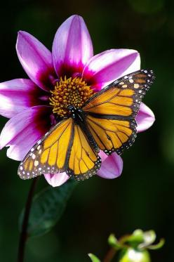 Monarch Butterfly on Cosmos: Beautiful Butterflies, Butterflies Dragonflies Moths, Faith Photography, Monarch Butterfly Photography, Awesome Photos, Beautiful Flowers, Butterflies Flowers