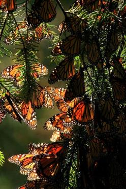 Monarchs in Their Millions (Mexico). Canopies of golden-orange butterflies cover the forests and hillsides in the Reserva Mariposa Monarca (Monarch Butterfly Reserve), perhaps Mexico's most astonishing yearly natural phenomenon. It's the kind of annual ev