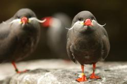 Mooie Vogels~ Birds with mustaches! Who knew! Haha these are awesome birds!: Inca Terns, Animals, Moustache, Nature, Incaterns, Mustaches, Birds