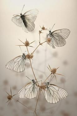 Morning Butterflies by `Blepharopsis on deviantArt :: http://blepharopsis.deviantart.com/art/morning-butterflies-56341852: Igor Siwanowicz, Butterfly, Animals, Butterflies, Nature, Beautiful, Art, Photography
