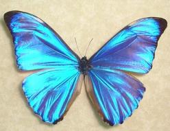 Morpho Aurora  http://www.arcreactions.com/custom-cds-and-covers/: Beautiful Butterflies, Blue Butterflies, Birds Butterflies Dragonflies, Art Butterflies, Morpho Aurora, Butterfly Moth