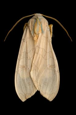 Most moth species are very small and are active only at night, so we don't often get to examine them up close. But in our current photo exhibition Winged Tapestries: Moths at Large, you can pore over the insects in glorious detail.      Banded tussock mot