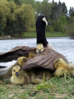Mother Goose and her babies.: Babies, Animals, Mothers, Canada Goose, Mother Goose, Birds