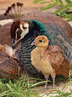 Mother Peahen and her adorable peachick:  photo by gregtucker: Baby Chick, Babies, Peafowl Peacocks, Birds Peacock Perfection, Animals Birds Peacocks, Baby Birds, Peacocks Peahens, Baby Peafowl