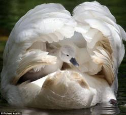 ❥ mother swan hiding baby swan under her wings...: Animals, Mothers, Beautiful, Baby Swan, Photo, Birds