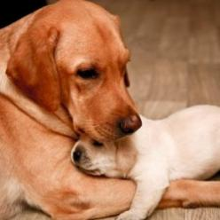 Motherly love.: Labrador Retriever, Animals, Dogs, Sweet, Mother, Pets, Puppy, Mom