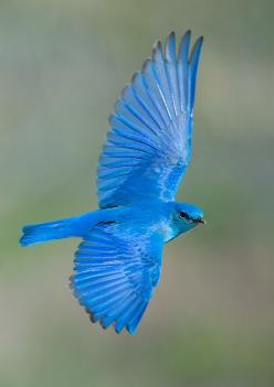 Mountain Bluebird - found in North West America-Doesn't have the orange breast, and is absolutely gorgeous!: Bluebirds, Animals, Beautiful Blue, Nature, Amazing Birds, Beautiful Birds, Blue Birds