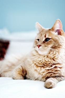 Mr fluffiness himself: Cool Cats, Beautiful Kitty, Cats Cats, Beautiful Cats, Cute Cats, Pretty Kitty, Ginger Cats, Fluffy Cat, Animal