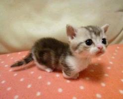 Munchkin cat! Cats with abnormal short legs omg I cute! I need one: Cats, Munchkin Cat, Animals, Pet, Munchkin Kitten, Adorable, Kittens, Baby, Kitty