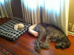 My dogs do this all the time!!! They always take each others beds...weirdos. lol: Animals, Dogs, Bed, Pets, Funny, Irish Wolfhound, Funnie
