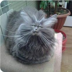 My father was a catfish and my mother... a fish with cat qualities.: Cats, Funny Animals, Funny Cat, Pet, Hairs, Bad Hair, Funny Stuff, Funnies, Kitty