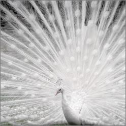 My latest animal obsession and fascination: the white peacock: Inspiration, Color, Animals Birds Peacocks, Snow, Beautiful Birds, Photography, White Peacock, Albino Peacock