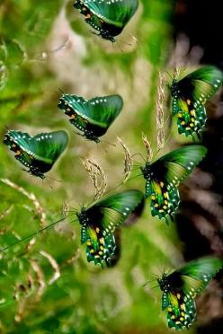 My mom would have loved these Green butterflies. Green was her favorite color.: Beautiful Butterflies, Butterfly, Green Color, Green Butterflies, Nature
