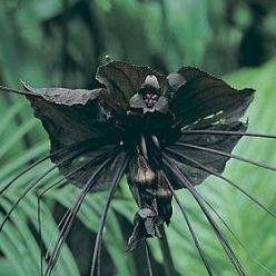 Mysteries And Wonders of People, World and Nature: Weird Beauty  Tacca chantrierei  Black Bat Flower, Cat's whiskers or Devil flower: Bat Plant, Cat Whiskers, Bats, Plants, Notch Chantrieri, Devil Flower, Garden