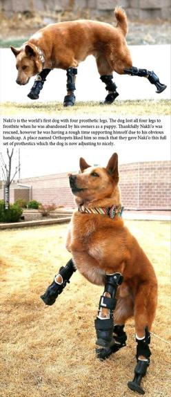Naki'o is the first dog to have four prosthetic legs.: Animals, Dogs, Humanity Restored, Pet, My Heart, Puppy, Prosthetic Legs
