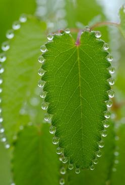 nature's tennis bracelet: Photos, Green, Beautiful, Dew Drops, Nature S, Beauty, Leaves, Dewdrop, Photography