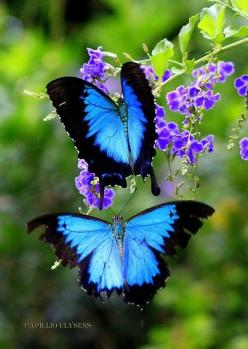 Nature is Beautiful - what gorgeous blue & black buttreflies.: Beautiful Butterflies, Blue Butterflies, Blue Butterfly, Nature, Color, Beauty, Animal