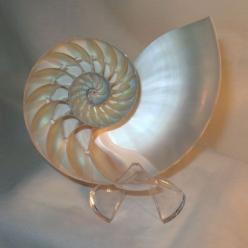 Nautilus Shell: Sea Shells, Ocean, Dreamy Sea Shell, Nautilus Shell, Products, Shells Phi