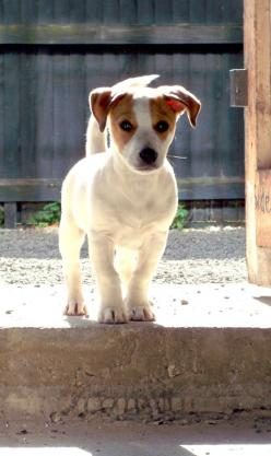 Nelson wants one a JR puppy so badly but I don't think we have the energy to keep up with one. If we do get one, it will def be a rescue!: Jack Russells, Dog Form, Jack Russell Puppies, Jack Russell Terriers, Jack O'Connell, Jack Russell S, Jackru