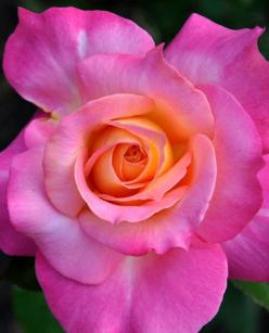 ~~Neon ~ Pink Tropicana Rose by *BeachGirlNikita~~: Tropicana Rose, Beautiful Roses, Gorgeous Roses, Beautiful Flowers, Gardening, Pink, Rose Garden, Pink Rose