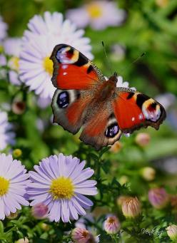 ✯ Nevena Uzurov - Butterfly: Beautiful Butterflies, Bees, Animals, Butterfly Moth, Photo, Flower