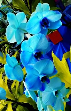New Wonderful Photos: Exotic Blue Orchids: Blue Orchids, Blue Flowers, Beautiful Blue, Color, Exotic Blue, Beautiful Flowers, Flowers Orchids, Garden
