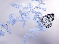 [New Year's iPad / Laptop Computer Background / Wallpaper] Stunning white butterfly on blue flowers.: Butterfly, Nature, Butterflies, Blue, Beautiful, Dorota Krauze, Photography, Flower, Animal