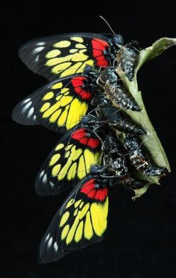 Newly emerged Redbase Jezebels (Delias pasithoe): Butterfly, Emerged Redbase, Redbase Jezebels, Butterflies, Jezebels Delias, Photo