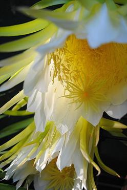 ~~Nightblooming Cereus blossoms glow in the early morning light! by jungle mama~~: Morning Light, Blossoms Glow, Beautiful Flowers, Flowers Garden, Cereus Blossoms, Nightblooming Cereus