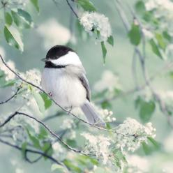No matter how many birds I see, rare and beautiful as they may be, I'll always love the chickadee!  xo: Woodland Animal, Beautiful Birds, Chickadee, Spring, Bird Photography