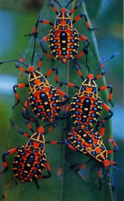 No son mariquitas, pero me encantan!!! They´re not ladybugs, but I love them!!!: Animals, Bugs, Nature, Color, Beautiful, Mesquite Bug, Insects, Beetle, Amazon