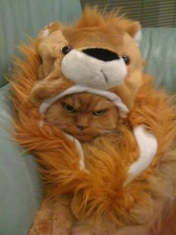 Nope.  He's not impressed with having to wear this costume that hides too much of his fluff!: Cats, Face, Animals, Funny Cat, Not Happy, Pet, Costume, Crazy Cat, Kitty