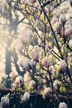 ... nothing quite like the beautiful magnolia trees when they're in bloom ~ Kelowna, BC: Magnolias, Heart Magnolia, Secret Garden, Flora, Front Yard, Spring, Magnolia Trees, Flower