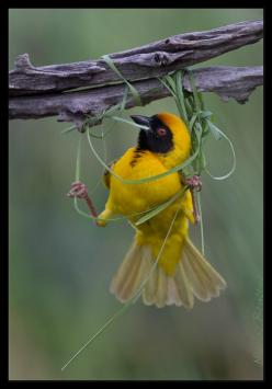 Now, how was that again? Left over right or right under left... (Weaver): Animals, Nature, Weaverbird, Beautiful Birds, Nests, Photo, Bird Weaving