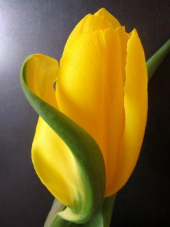 ~~Obraz | amazing Yellow Tulip by Wisia~~: Yellow Tulips, Mellow Yellow, Amazing Yellow, Posts, Beautiful Flowers, Flowers, Garden, Yellow Flower, Flower