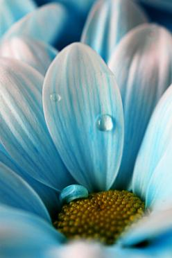 oh daisy...: Photos, Blue Flowers, Color, Daisies, Dew Drop, Beautiful Flowers, Dewdrop, Garden, Photography