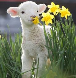Oh my goodness!: Easter, Baby Lamb, Sweet, Sheep, Baby Animals, Spring Lamb, Flower