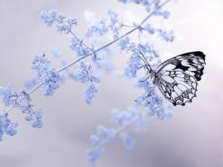 ~ Oh, those butterfly wings!  They look to me like a stained-glass window! :) Fairies' wings often resemble the most fragile and transparent of butterfly wings. ~: Butterfly, Butterflies, Nature, Blue, Beautiful, Dorota Krauze, Flower, Photography, An