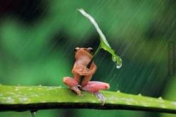 oh you know, just sitting here in the rain!: Picture, Animal Pics, Animals, Umbrellas, Nature, Funny Animal, Frogs, Photo, Rain