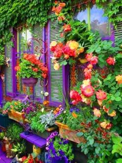 Omg. Now, I want to paint my privacy fence in fabulous shades of coral and acidic purples and let Colorful climbing roses and vines cover it. Gorgeous.: Idea, Purple, Window, Colors, Beautiful, Outdoor, Gardens, Gardening, Flowers
