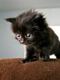 OMG! This little kitten is just too cute!: Animals, Sweet, Black Kitties, Blackcats, Black Kittens, Cute Black Cats, Kitty, Fluffy Black Kitten