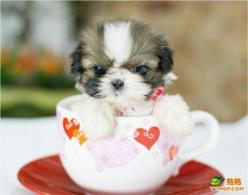 Ommmmgggg <<<333  Shih Tzu. :) Puppy Dog Photography Puppies Doggie Pup #DogsInTeaCups #DogsInCups: Animals, Puppies, Dogs, Pet, Puppys, Shihtzu, Shih Tzu, Teacup