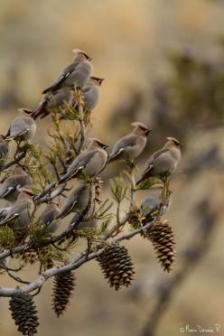 One of my big elms was full of Waxwings and Robins the other morning. I saw them on my way to work - I wish they had waited until the week-end to come raid the junipers in the back of the acre so I could have watched them. I see them travel together every