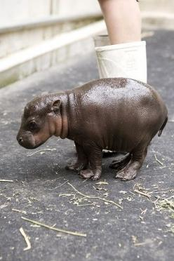 One of the cutest things I ever saw - a Baby Hippo: Babies, Baby Hippos, Babyhippo, Pet, Baby Hippopotamus, Adorable, Baby Animals, Pygmy Hippo